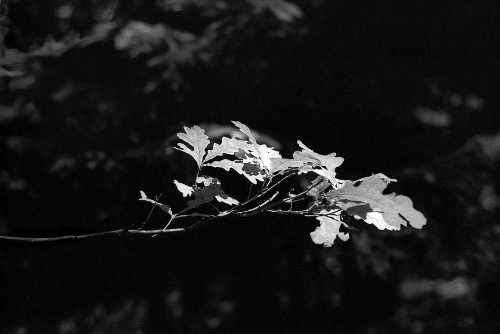 Blätter auf Ilford FP4+, Blende 2.8