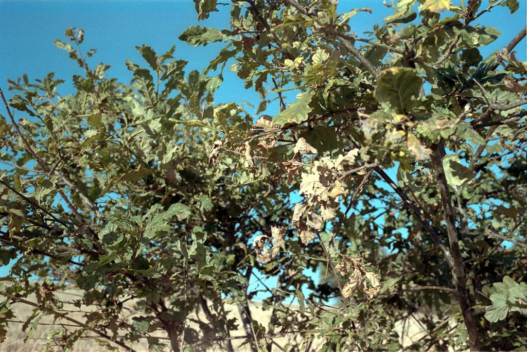 Eichenblätter auf Kodak Gold