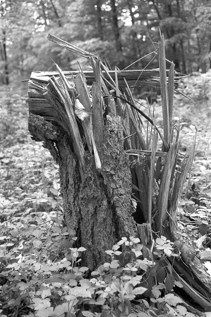 abgeknickter Baumstamm auf Ilford FP4+